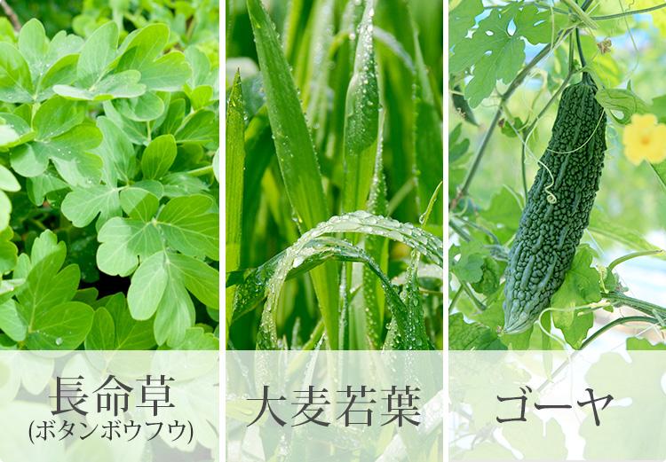 長命草(ボタンボウフウ) 大麦若葉 ゴーヤ